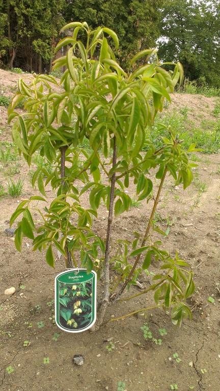 Staphylea - ein toller Baum für Bienen - ist mittlerweile hier verwurzelt