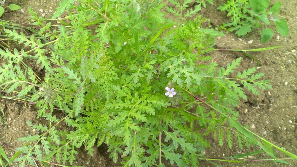 Phacelia mit ersten Blüten