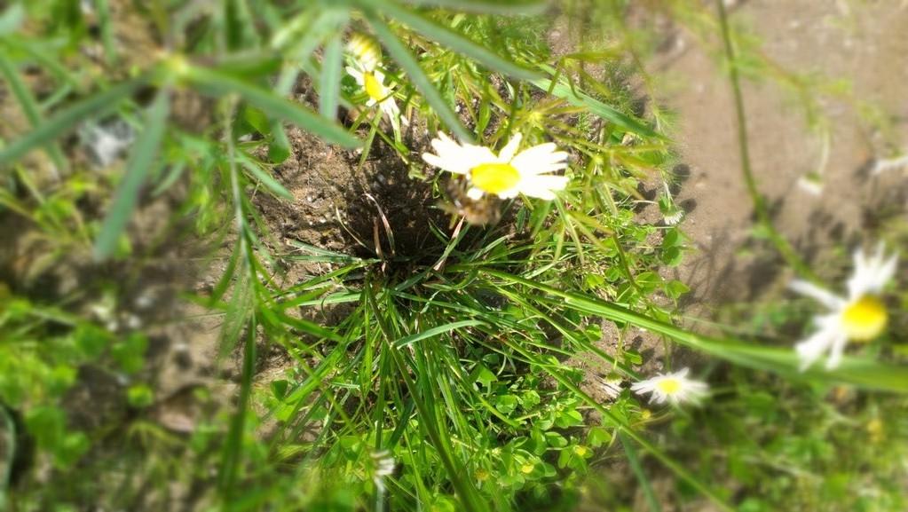 Auch die ersten Bienen haben entdeckt, daß es hier etwas zu holen gibt!