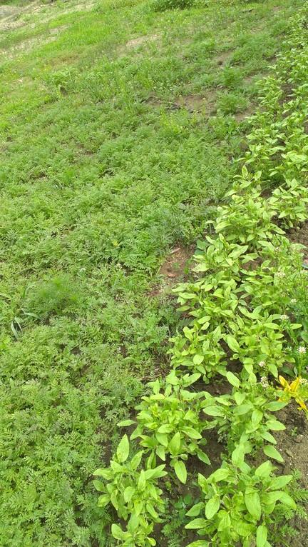 Wildblumenteppich mit Ackersenf, Phacelia, Seradella & co.