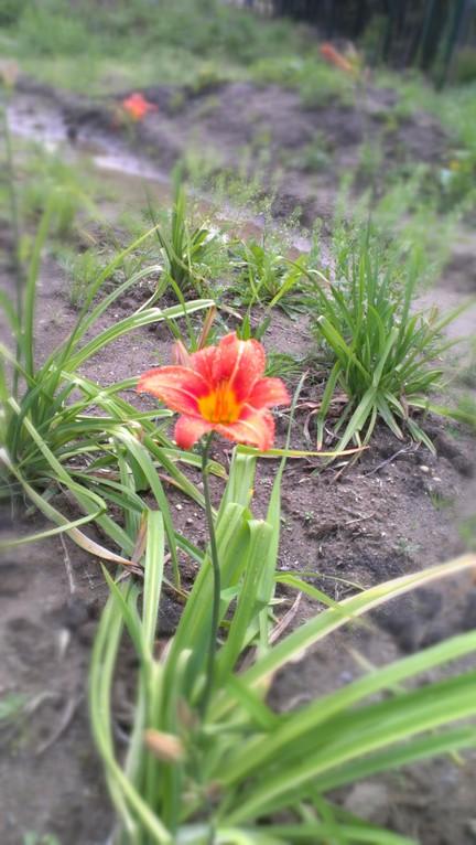 Lilien verwurzeln sich und säumen den Wegesrand