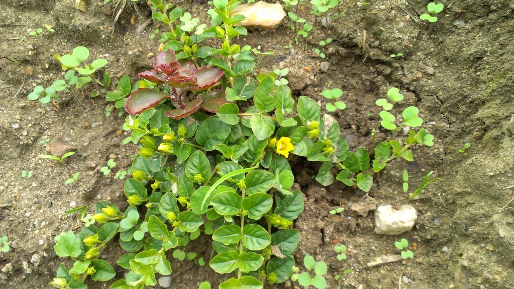Bodendecker grüßen mit Blüten