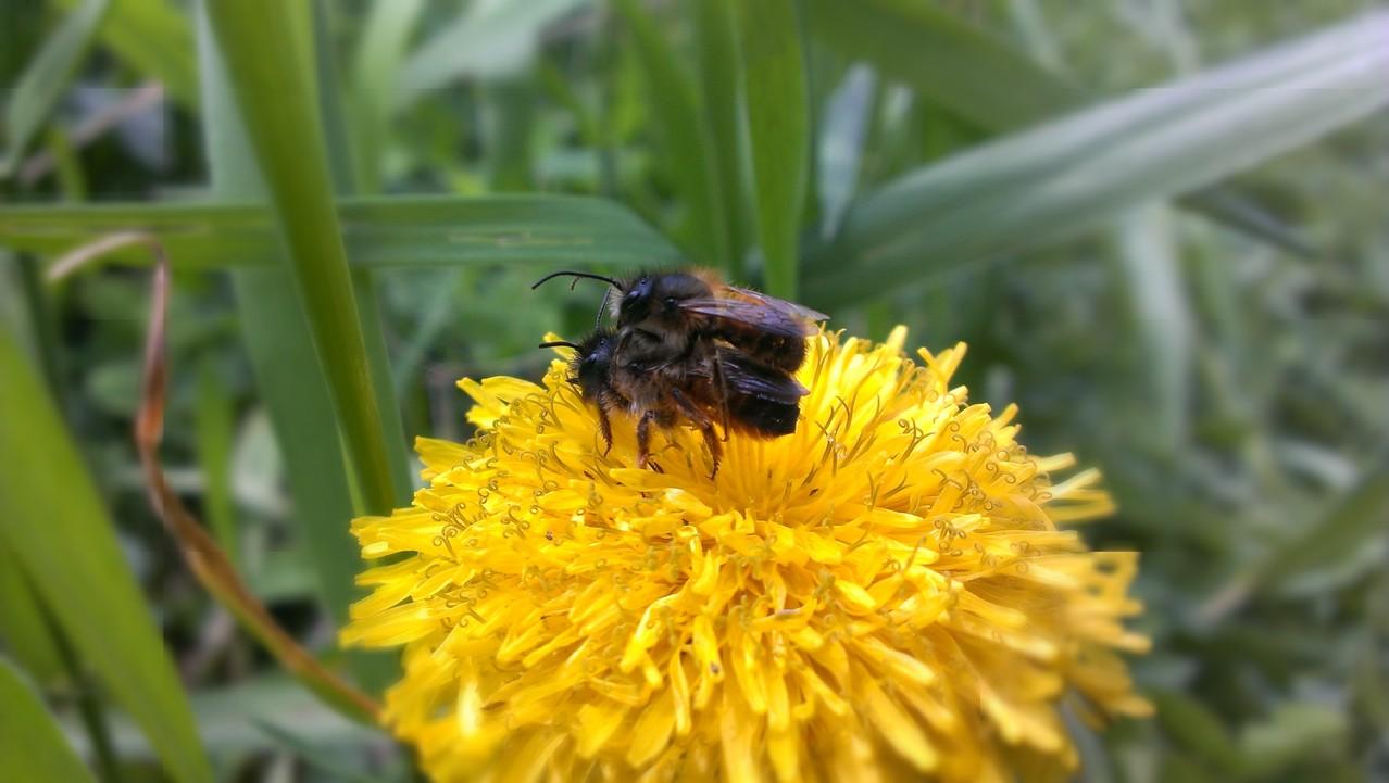Wildbienen - ein Platz zum Familie gründen.