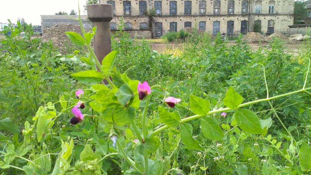 Bohnen mit violetten Blüten