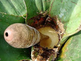 Acocote, herramienta utilizada para extraer el aguamiel del maguey.