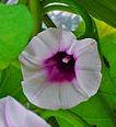 Flor del Boniato
