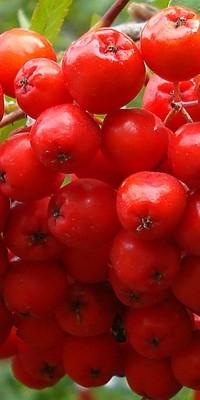 Frutos del serbal silvestre