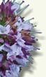 Planta medicinal - Mejorana