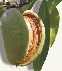 Almendra Prunus dulcis