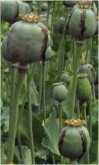 Alcaloides del Opio