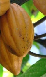 Propiedades y beneficios del Cacao
