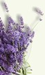 Lavandula angustifolia - Plantas medicinales