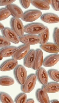 Semillas de Ispágula