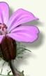 Hierba de San Roberto (Geranium robertianum)