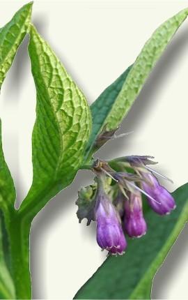 Flor y hojas de la Consuelda