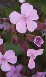 Saponaria planta medicinal