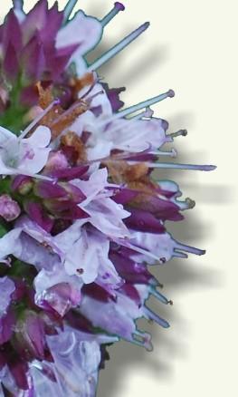 Flores de Mejorana