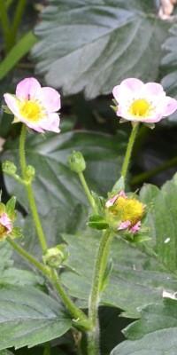 Flor de fresa