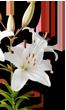 Azucena plantas medicinales