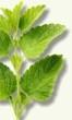 Planta medicinal - Melisa