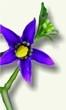 Dulcámara - Planta medicinal