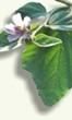 Planta medicinal - Malvavisco