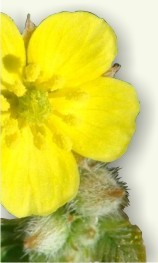 Abrojo planta medicinal
