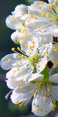 flores del endrino