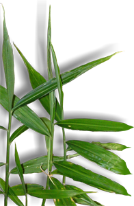 Planta de Jengibre