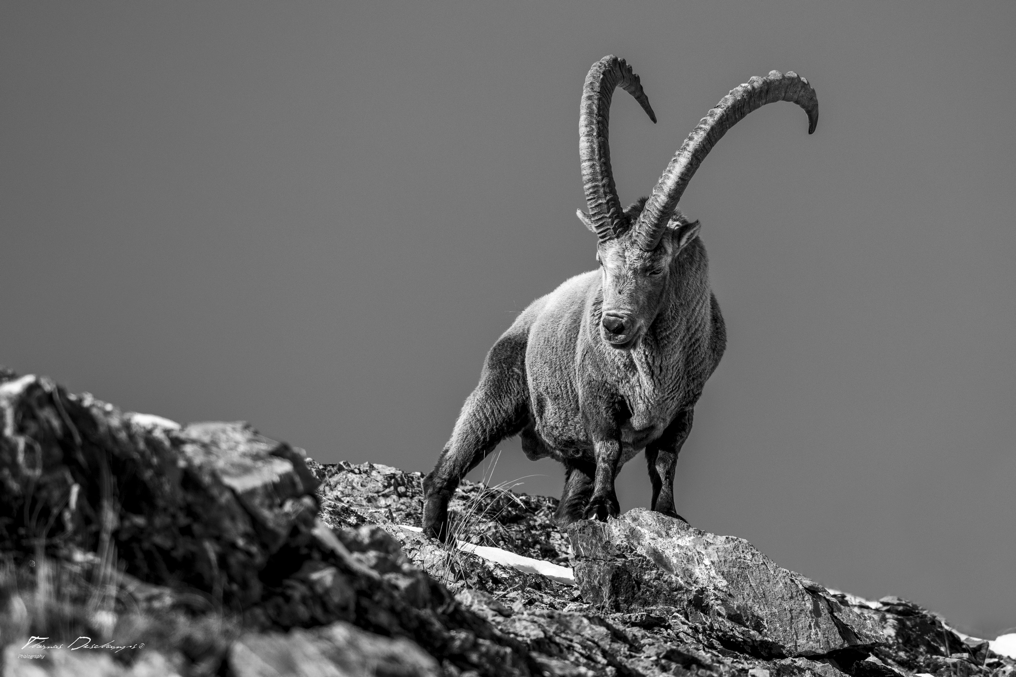 Thomas Deschamps Photography Bouquetin France photo Great Ibex picture wildlife