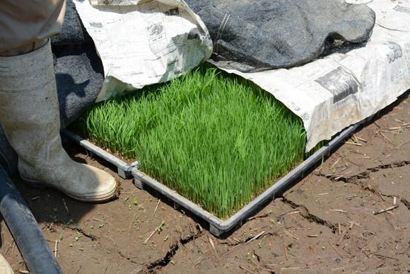 大分 農業 水稲