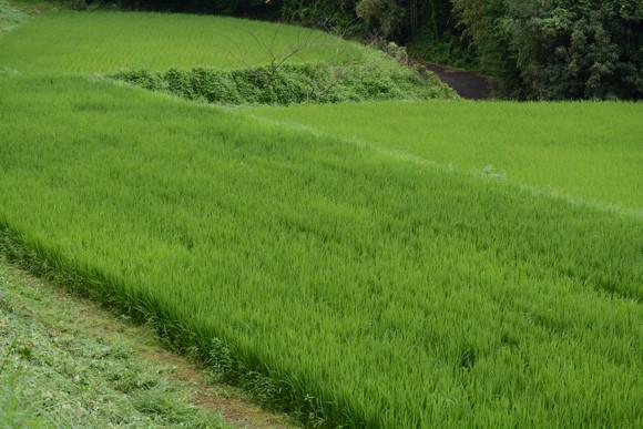 大分 農業体験 水稲米