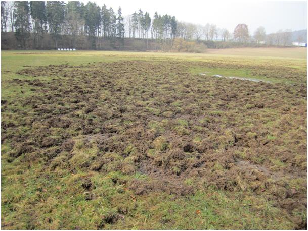 Solche Wildschäden können im Winter auch nach 4 Monaten noch eindeutig als Wildschäden indendifiziert werden.        Foto: Dr.