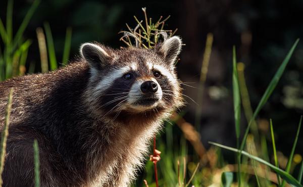 Besonders bei den Waschbären wurden 30 Prozent mehr Tiere erlegt als im Durchschnitt der vergangenen fünf Jahre. Quelle: Seifert/DJV