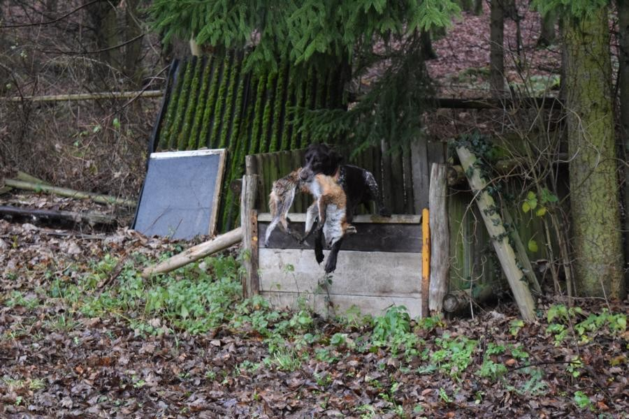 Exkurs zur VGP - Fuchs über Hindernis