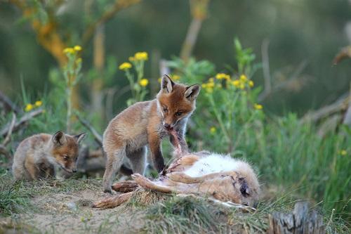 Fuchswelpen an Hase, Quelle: KauerMross/DJV