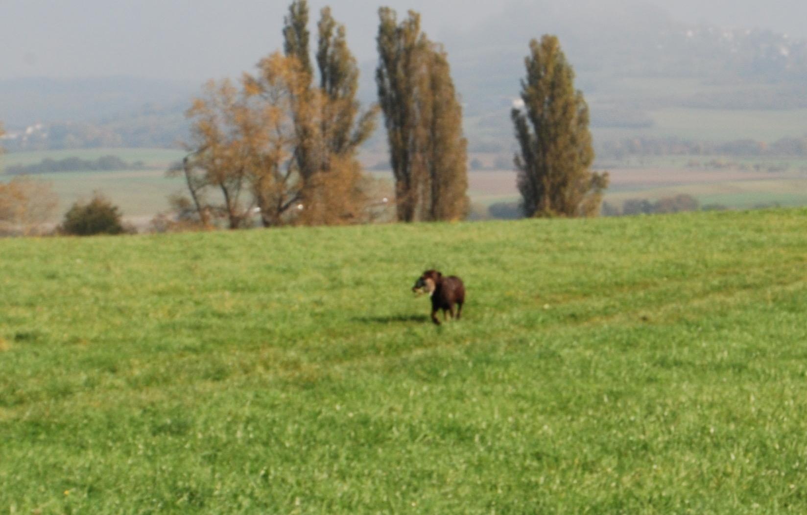 Tosh kommt mit dem Kaninchen im Fang zurück.
