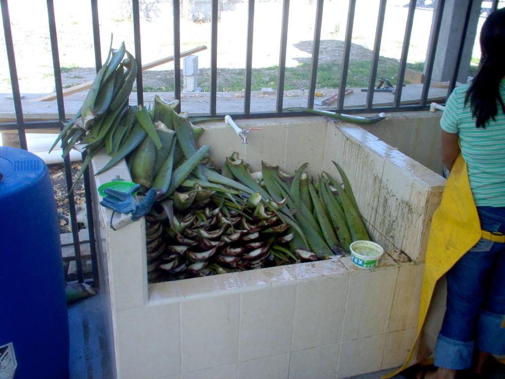 Annahme und Reinigung in der Aloevera-Fabrik von COMUCAP