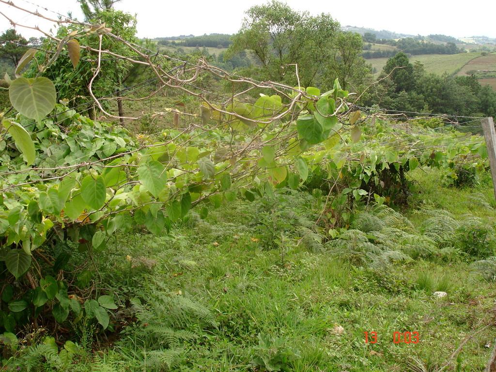 natürliches Schutzdach für Passionsfruchtpflanzung eines Kooperativenmitglieds