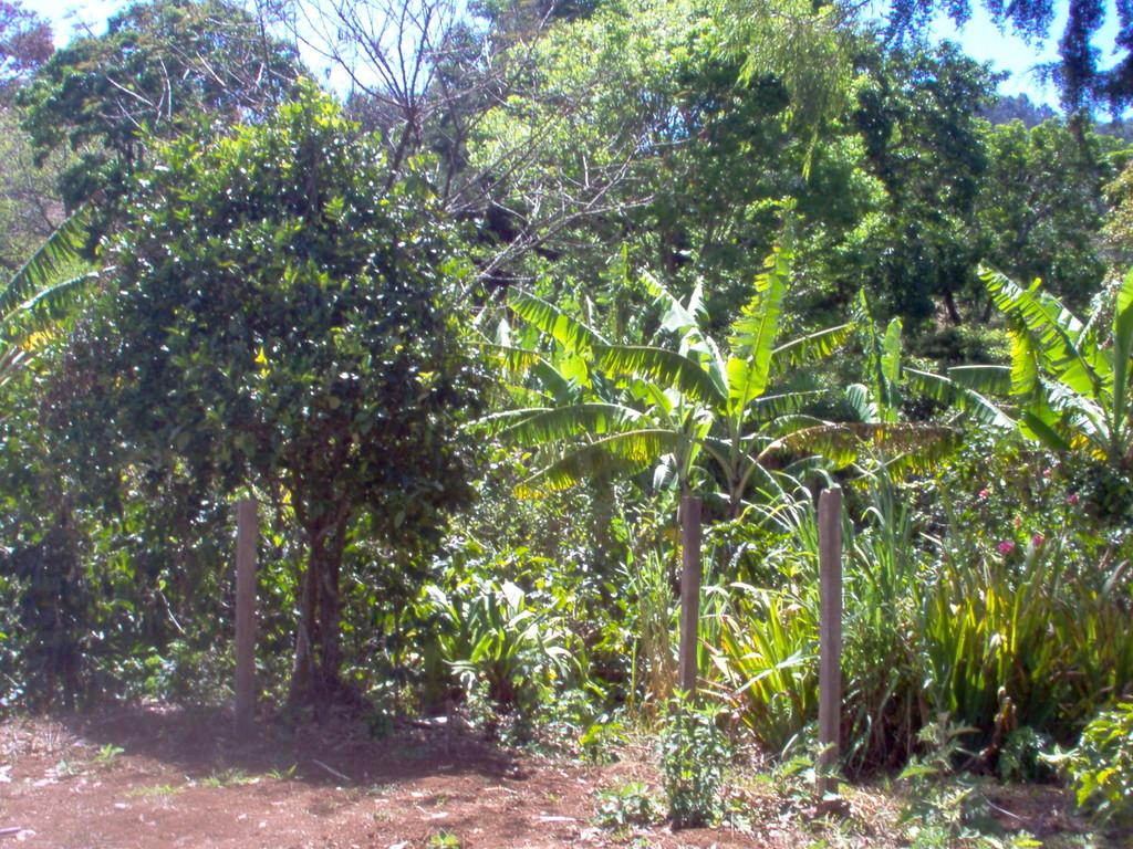 Kaffeepflanzung eines Kooperativenmitglieds in Nahuaterique, Februar 2010