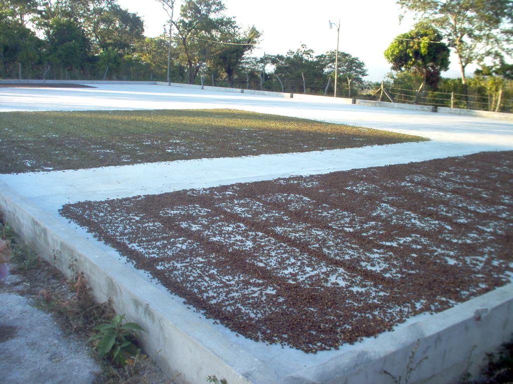 aussortierter Kaffee auf dem Trockenhof von COMUCAP