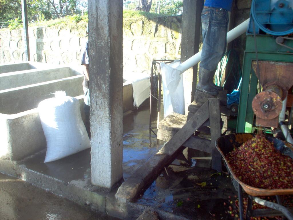 Abfüllen des geschälten, nassen Pergaminkaffees