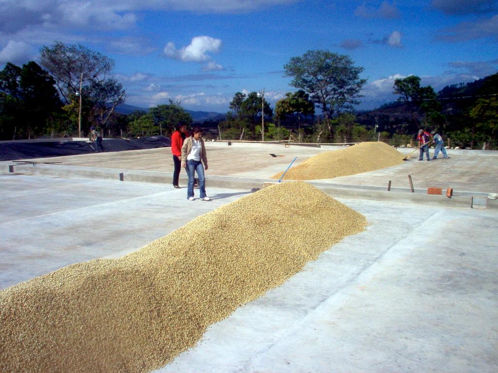 Pergaminkaffee auf dem Trockenhof von COMUCAP