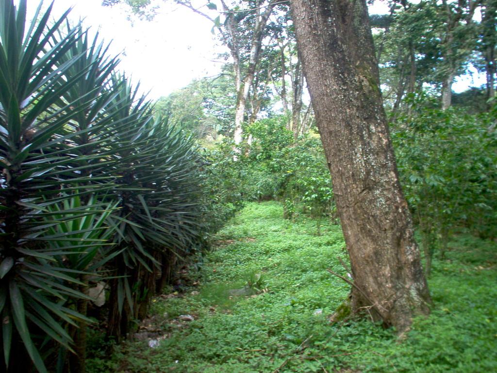 Begrenzungshecke der Kaffeepflanzung einer COMUCAP-Socia
