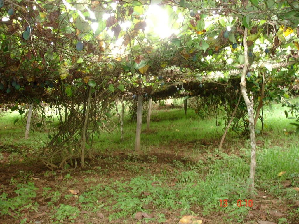 Passionsfruchtpflanzung eines Kooperativenmitglieds