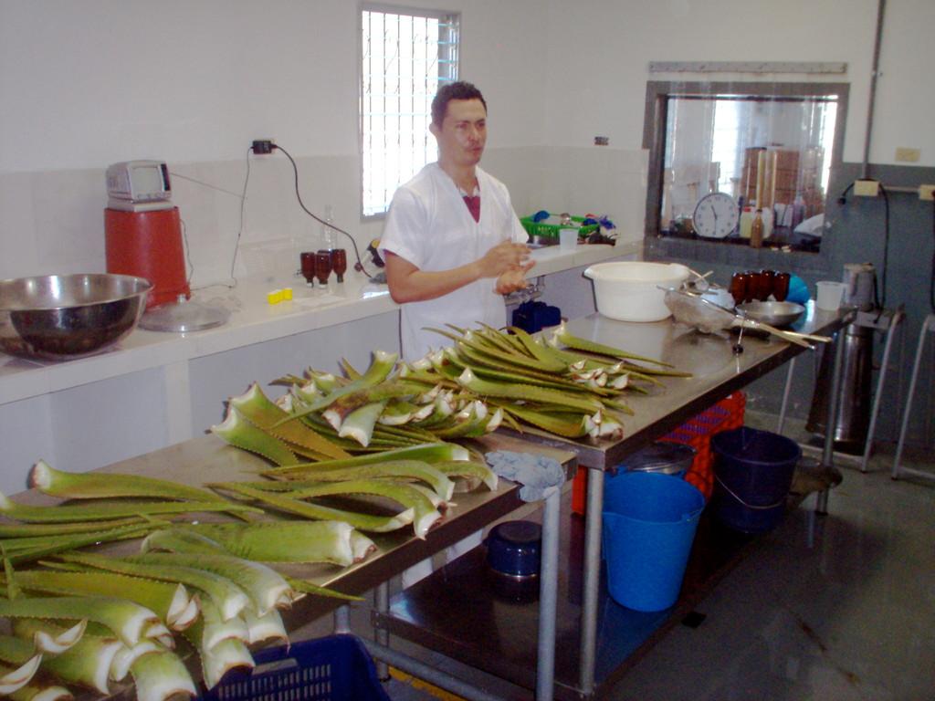 Verarbeitung von Aloevera in der Fabrik von COMUCAP