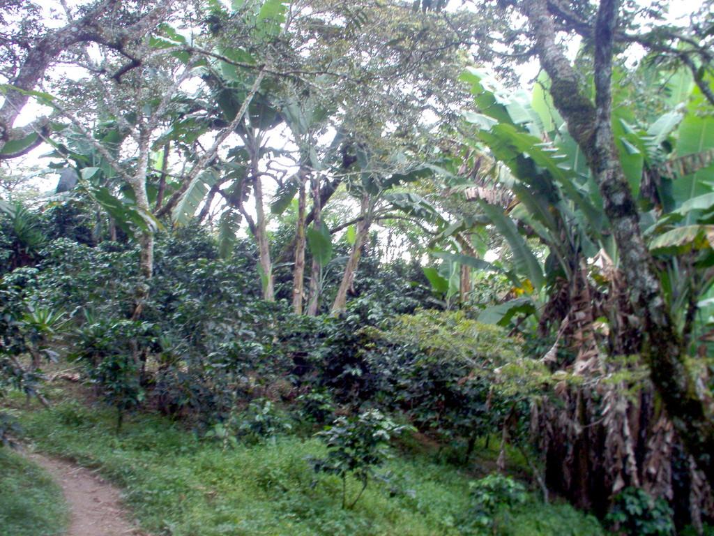Kaffeepflanzung einer COMUCAP-Socia