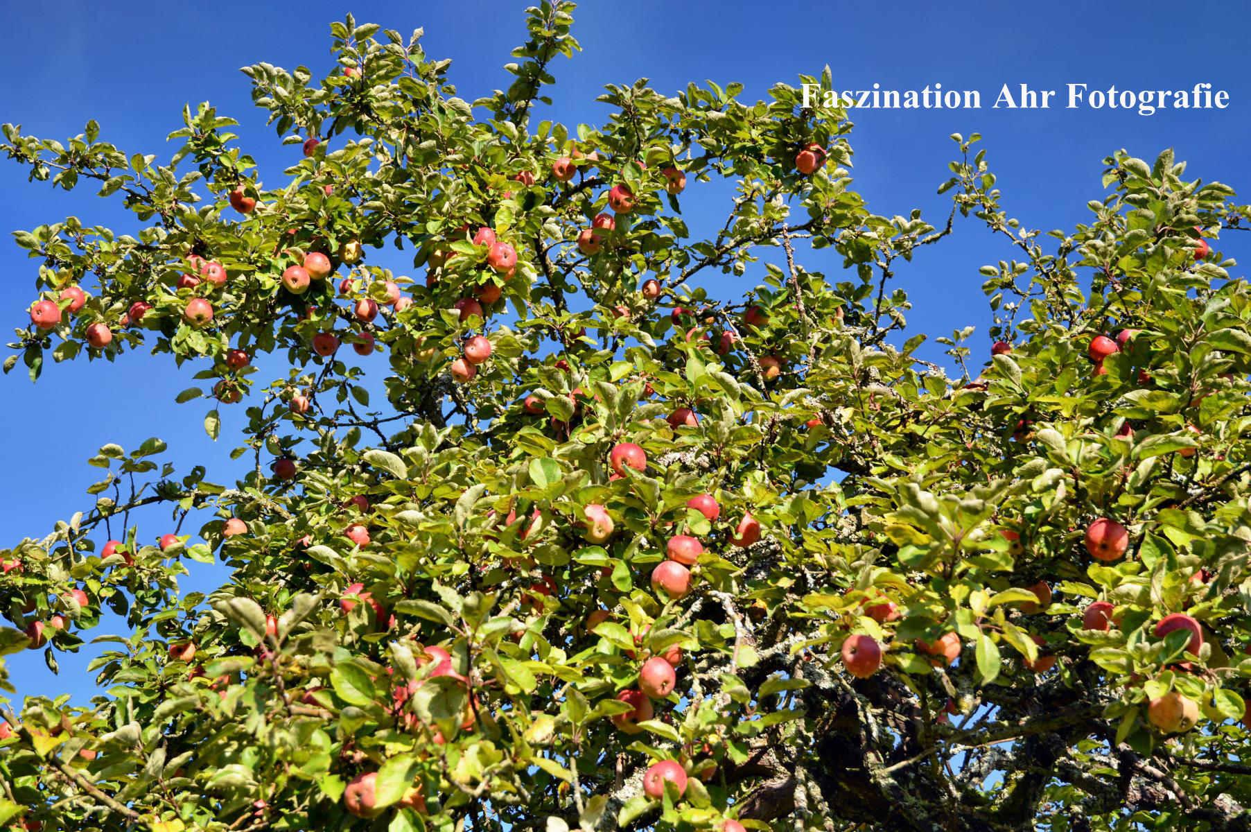 Äpfel 1