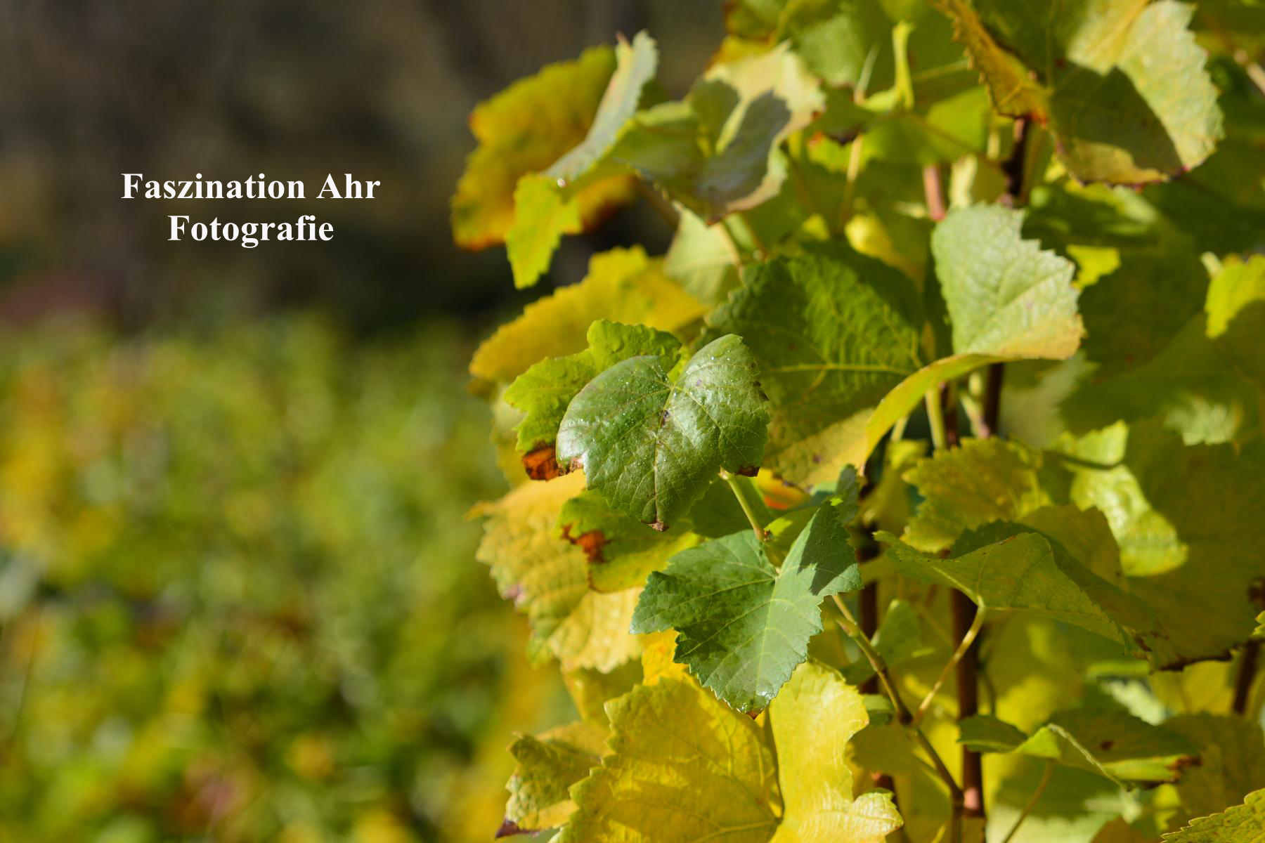 Weinlaub 1