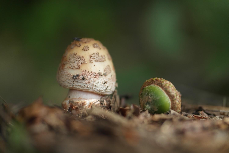 Pilz und Eichel